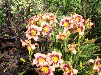 Thumbnail image of Hemerocallis A FOGGY DAY