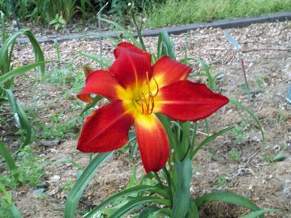 Thumbnail image of Hemerocallis ALL AMERICAN CHIEF