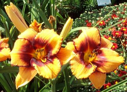 Thumbnail image of Hemerocallis ALL AMERICAN TIGER