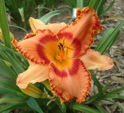 Thumbnail image of Hemerocallis ALL CREATION SINGS