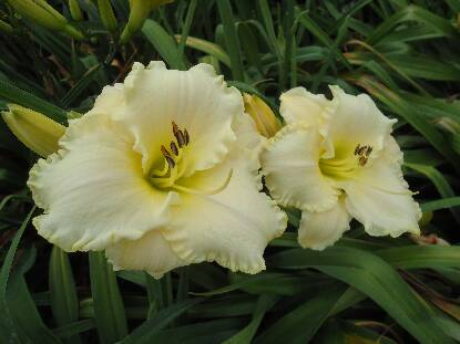 Thumbnail image of Hemerocallis ALPINE SNOW