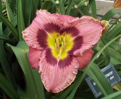 Thumbnail image of Hemerocallis ALWAYS AFTERNOON