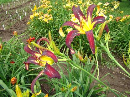 Thumbnail image of Hemerocallis ANDROID