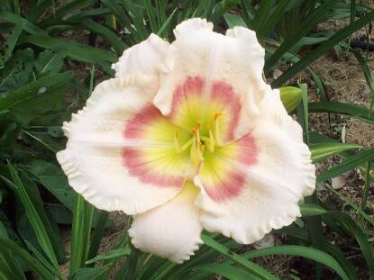 Thumbnail image of Hemerocallis ANGELIQUE IN SATIN