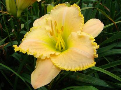 Full size photo of Hemerocallis ANGELS SING