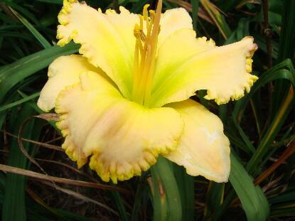 Thumbnail image of Hemerocallis ANGEL'S SMILE