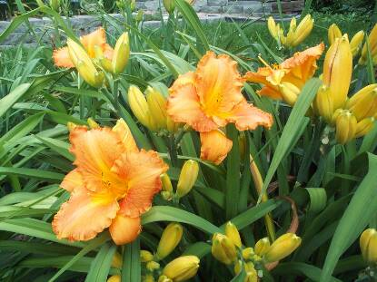 Thumbnail image of Hemerocallis ANITRA'S DANCE