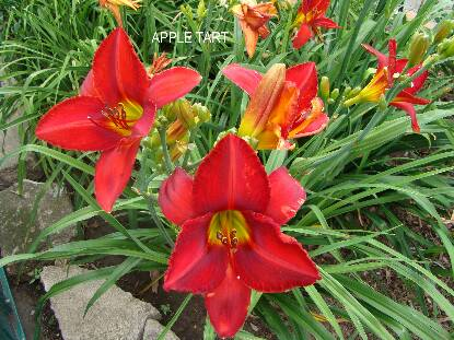 Thumbnail image of Hemerocallis APPLE TART