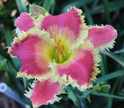 Thumbnail image of Hemerocallis AVIANNA GRACE