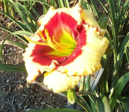Thumbnail image of Hemerocallis AWESOME CANDY