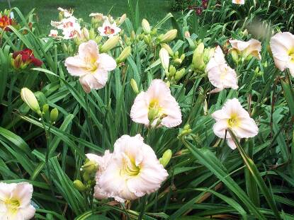 Thumbnail image of Hemerocallis BARBARA MITCHELL