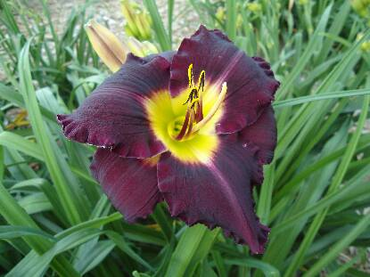 Full size photo of Hemerocallis BELA LUGOSI