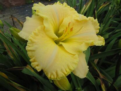 Thumbnail image of Hemerocallis BEN ADAMS