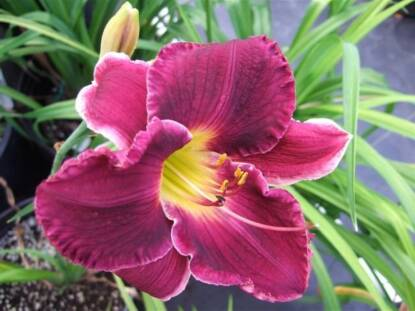 Thumbnail image of Hemerocallis BEYOND THUNDER DOME
