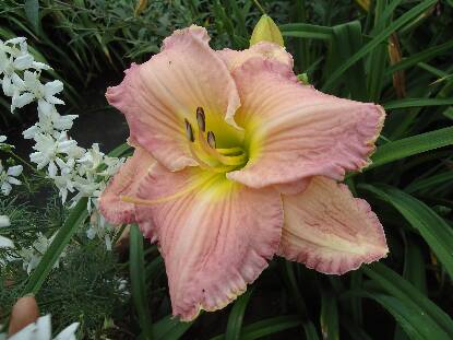 Thumbnail image of Hemerocallis BIG BLUE
