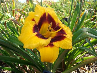 Thumbnail image of Hemerocallis BLACKBERRY CANDY