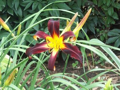 Thumbnail image of Hemerocallis BLACK PLUSH