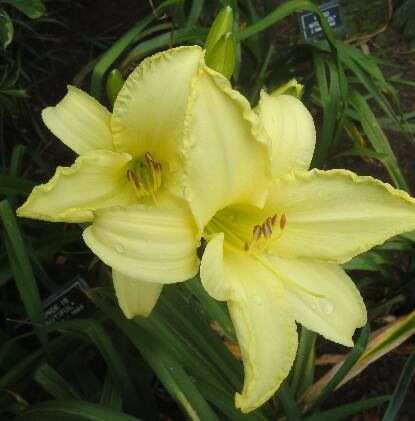 Thumbnail image of Hemerocallis BLONDE IS BEAUTIFUL