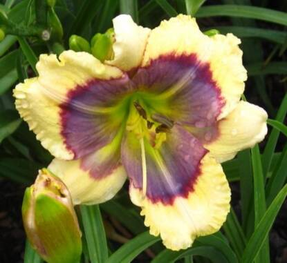 Thumbnail image of Hemerocallis BLUE OASIS