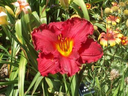 Thumbnail image of Hemerocallis BOBBY JIM RAGAIN