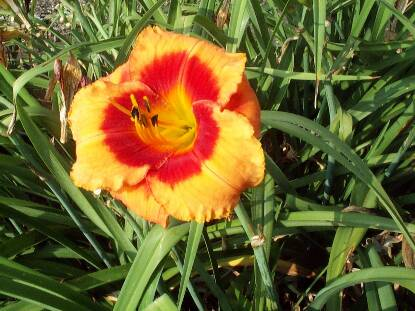 Full size photo of Hemerocallis BOLD TIGER
