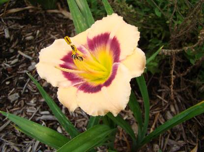 Thumbnail image of Hemerocallis BOUNTIFUL CANDY