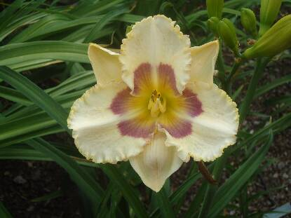 Thumbnail image of Hemerocallis BRIDGETON FINESSE