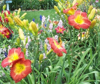 Thumbnail image of Hemerocallis BRIEF ENCHANTMENT
