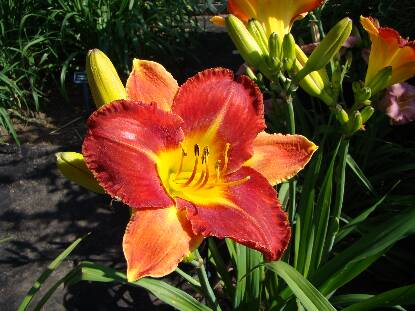Thumbnail image of Hemerocallis BRIGHT CARNIVAL
