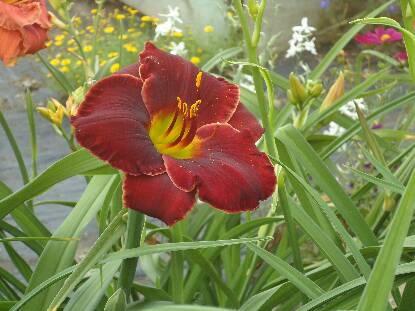 Thumbnail image of Hemerocallis BRITISH REDCOAT