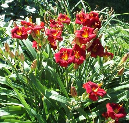 Thumbnail image of Hemerocallis BROADWAY ATTRACTION
