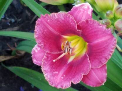 Full size photo of Hemerocallis BROADWAY IMP