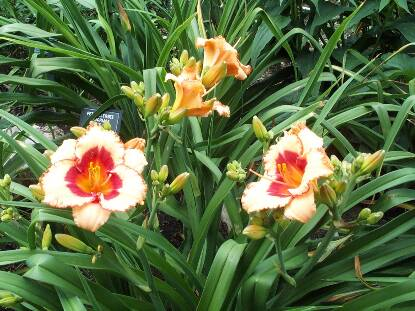 Thumbnail image of Hemerocallis BROADWAY REVIEW