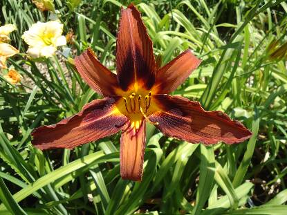 Thumbnail image of Hemerocallis BROWN WITCH