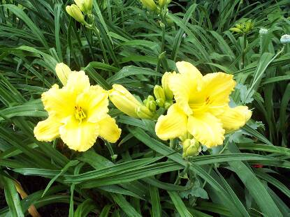 Thumbnail image of Hemerocallis BURNISHED RUFFLES