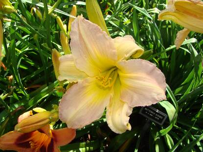 Thumbnail image of Hemerocallis BUTTERFLY KISSES