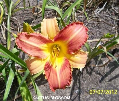 Full size photo of Hemerocallis CACTUS BLOSSOM