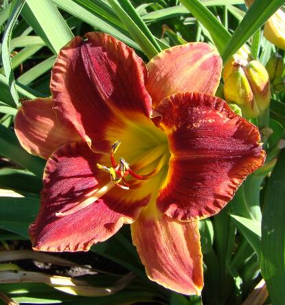 Full size photo of Hemerocallis CALGARY STAMPEDE
