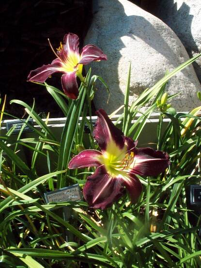 Thumbnail image of Hemerocallis CAMEROON NIGHT