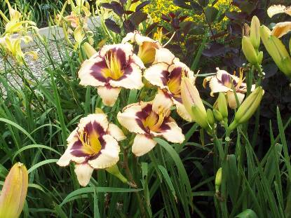 Thumbnail image of Hemerocallis CANADIAN BORDER PATROL