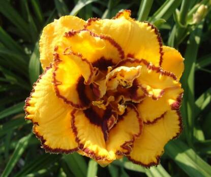 Thumbnail image of Hemerocallis CARNATION SUNRISE