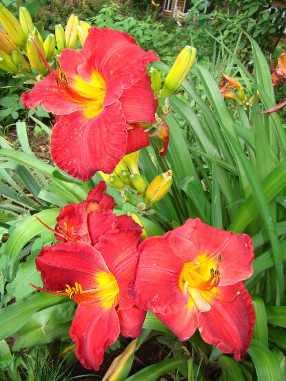 Thumbnail image of Hemerocallis CAROLYN HENDRIX