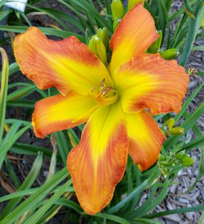 Thumbnail image of Hemerocallis CARRICK WILDON