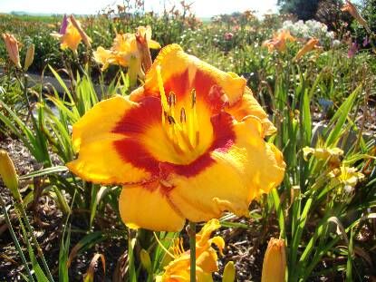 Thumbnail image of Hemerocallis CHEROKEE PASS