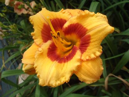Thumbnail image of Hemerocallis CHERRY CANDY