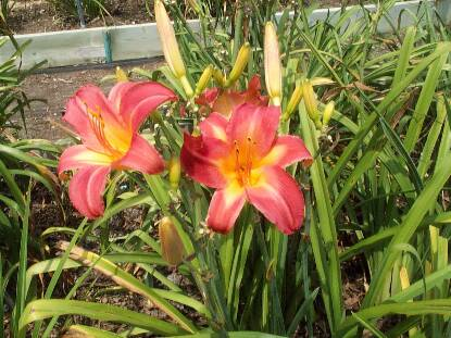 Thumbnail image of Hemerocallis CHERRY CHEEKS