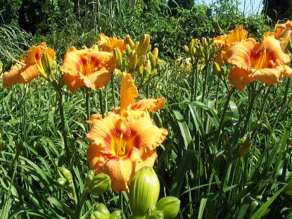 Thumbnail image of Hemerocallis CHERRY EYED PUMPKIN