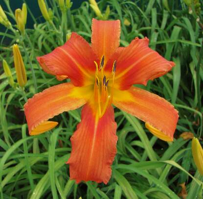 Thumbnail image of Hemerocallis CHESAPEAKE CRABLEGS