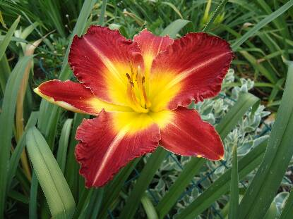 Thumbnail image of Hemerocallis CHINESE CHARIOT