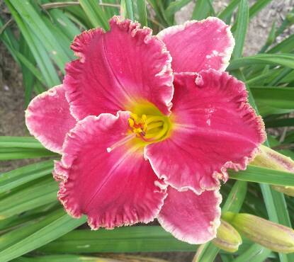 Thumbnail image of Hemerocallis CHRISTMAS GREETINGS